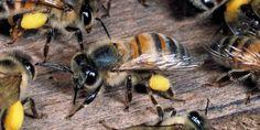 Killer bees are spreading in California - GeekSnack
