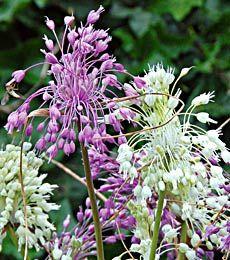 Allium carinatum or keeled garlic.  Again, edible  landscaping.