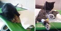 Rescue Cat With A Special Touch Comforts Other Sick Animals