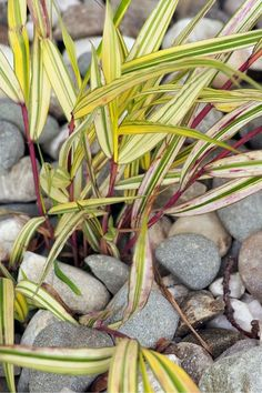 These Are The Flowers That'll Thrive in Your Shady Yard Hakonechloa shade perennials backyard garden Best Perennials For Shade, Best Plants For Shade, Shade Garden Plants, Garden Shrubs, Flowers Perennials, Planting Flowers, Shaded Garden, Leopard Plant, Purple Flowering Plants