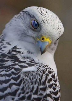 A magnificent Gyrfalcon! The Gyrfalcon breeds on Arctic coasts and the islands of North America, Europe, and Asia