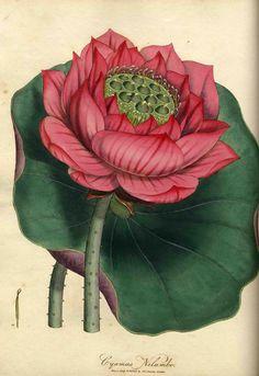 Cyamus Nelumbo (heute: Nelumbo nucifera; Lotos) James Edward Smith: Exotic Botany. London, 1804-1805