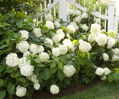 choosing hydrangeas for your garden: cold-climate hydrangea (hydrangea arborescens) / snowball hydrangea - part shade / not drought-tolerant / 'annabelle' / 'white dome' Garden Shrubs, Shade Garden, Lawn And Garden, Garden Landscaping, Landscaping Ideas, Garden Soil, Garden Care, Front Garden Landscape, Hydrangea Landscaping