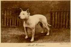 An early English Bull Terrier.