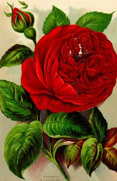 "Image from page 24 of ""Roses and rose culture .."" (1892) 