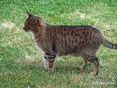Top 10 Fluffy Cat Breeds List [+Parenting Simplified Tips] Exotic Cat Breeds, Fluffy Cat Breeds, Large Cat Breeds, Ocicat, Short Hair Cat Breeds, Short Hair Cats, Cat Breeds List, Domestic Cat Breeds, Cat Info