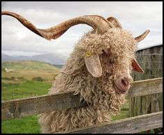 Angora Goat | Angora goat | Flickr - Photo Sharing!