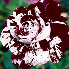 RP:  Dark Dragon - Extravagant Beautiful Combination of Purple Lavender  White Stripes Big Fragrant Roses