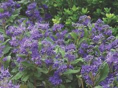 One of the best blue Caryopteris on the market, Grand Bleu® blooms from early August until the first fr Fall Flowers, Diy Flowers, Flower Ideas, Dog Garden, Ornamental Plants, Colorful Garden, Summer Garden, Backyard Landscaping, Vegetable Garden