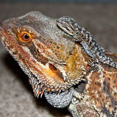 How To Breed With Bearded Dragons. The ultimate goal of keeping a pet Bearded dragon is probably to simulate its natural environment to such an extend that every possible aspect of its life is replicated. Now the ultimate test to see if a pet is happy in its environment is to see if it is breeding successfully. http://www.beardeddragons.co.za/bearded-dragon-breeding/