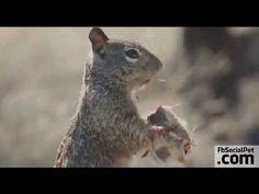 Che fame!   FbSocialPet.com » Canale Video » FbSocialPet: social network per cani, gatti, cavalli, tutti gli animali La fame a volte fa fare cose straordinarie! #loveanimals #Ilovepets #squirrels #FbSocialPet