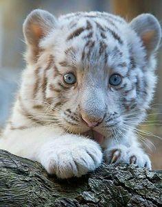 Tiger #BigCatFamily