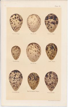quail eggs by breed