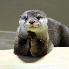 Model otter has perfected her poses  Source:  https://twitter.com/otterbeginner/status/627376697239826432
