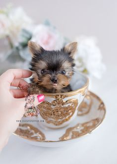 Teacup Yorkie baby by TeaCup Puppies and Boutique chihuahua love, chihuahua care, chihuahua sweater Yorkie Bebe, Yorkie Puppy For Sale, Teacup Yorkie, Teacup Puppies, Cute Puppies, Cute Dogs, Yorkie Puppies, Schnauzer, Yorkshire Terrier Puppies