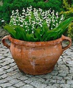 Love Lily of the Valley! Also makes a wonderful ground cover perennial. The very fragrant flowers appear in abundance in April and May. They are ideal for growing in wild or woodland gardens or use for ground cover in a damp shaded border. Container Plants, Container Gardening, Gardening Tips, Organic Gardening, Gardening Services, Vegetable Gardening, Woodland Garden, Garden Planters, Potted Garden