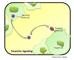Paracrine Signaling