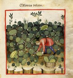 All sizes | 020- Los melones dulces-TACUINUM SANITATIS- Biblioteca Casanetense Ms. 4182 | Flickr - Photo Sharing!