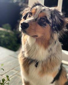 This Australian Shepherd. dog This australian shepherd dog. Super Cute Puppies, Cute Baby Dogs, Cute Little Puppies, Cute Dogs And Puppies, Cute Baby Animals, Funny Animals, Doggies, Funniest Animals, Funny Puppies