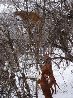red tick coonhound   Redtick Coonhound Treeing