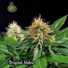 #OriginalWidow #week6 #SakanSeeds #Cannabis #Marihuana #maritxu #yerba #Ganja #kenke #Weed #feminizadas #feminized #Semillas #Seeds #interior #indoor #420 #marijuana #weedstagram #highlife #stoned #420spain #weedporn www.SakanSeeds.es