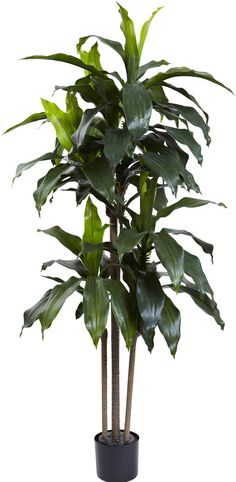 Dracaena Plant in Planter