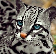 Ocelot - Such big blue eyes, the better to see you with..............