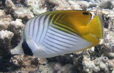 Threadfin butterflyfish - Chaetodon auriga