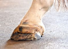 White Line Disease: Learn how to detect and manage this insidious hoof infection. Horse Information, Vet Assistant, Horse Care Tips, All About Horses, Cat Crafts, Beautiful Horses, Pretty Horses, Horse Breeds, Horses