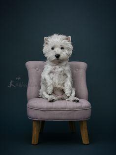 My Molly #westie #dog #dogs