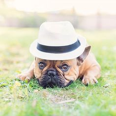 Starting my day fab as always Dapper French Bulldog Bulldog Breeds, French Kiss, French Bulldogs, Kisses, Dapper, Animal Pictures, Doggies, Cute Animals, Happiness