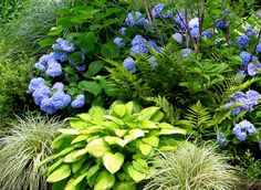 Hydrangea 'Endless Summer' with Hosta 'Gold Standard' and Carex 'Evergold'. London Landscapes LLC