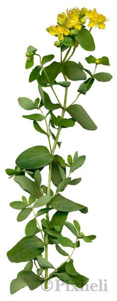 Takapihan yrttikasvit: Kuismat Kuismasta käytetään rohtona tuoreita tai kuivattuja kukkia ja kukkaversoja. Kuismat kukkivat heinä-elokuussa. Kukista voi valmistaa teetä, alkoholiuutetta, öljyuutetta tai voidetta.Kuismien ominaisuuksia ja niillä hoidettavia vaivoja: rauhoittaa mieltä: ahdistus, masennus, unettomuus tuhoaa bakteereja ja viruksia: ientulehdus, lihastulehdukset, jännetuppitulehdus uudistaa hermosäikeitä, parantaa arpia: hermovauriot, auringonpolttamat lisää ruuansulatusnesteiden…