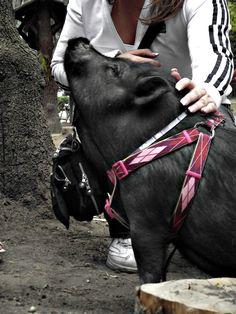Pigdog