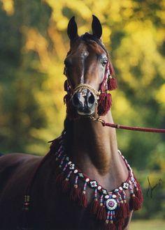 Arabhorse.com - Arabians LTD ~ Beautiful horse, and I LOVE the bridle and matching collar <3