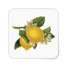 Vintage Lemons Illustration Sticker