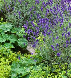Lavender 'Hidcote Blue' is the most floriferous of the compact lavenders, with purple-blue flowers. Incredibly reliable.