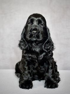 Cute Dogs And Puppies, I Love Dogs, Beautiful Dogs, Animals Beautiful, Animals And Pets, Funny Animals, Cockerspaniel, Cocker Spaniel Dog, Golden Retriever