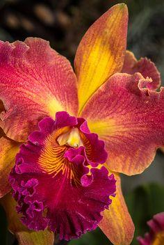 Orchid - Susan Fender 'Cinnamon Stick'La flor de las 1000 formas, a cual de ellas más delicada...