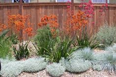 This orange kangaroo paw shown here is beautiful. It says the grassy part is evergreen 2 - 3 tall, and when flowering the whole plant is tall, and it needs full sun.