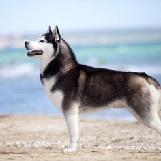 Siberian Huskies on a beach❤️❤️❤️