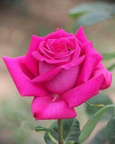 Beautiful Flowers Wallpapers, Beautiful Rose Flowers, Pretty Roses, Flowers Nature, Large Flowers, Amazing Flowers, Orange Roses, Red Roses, Apple Wallpaper Full Hd