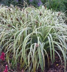 Details about weeping brown sedge carex flagellifera for Brown ornamental grass plants