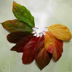 #unabellagiornata 268/365 L'autunno del Cornus.  #colors #palette #green #red #yellow #cornusflorida