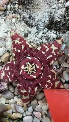 Orbea Lepida-A flowering succulent plant, originating in South Africa with the lovely appearance of a Star Fish at first glance.
