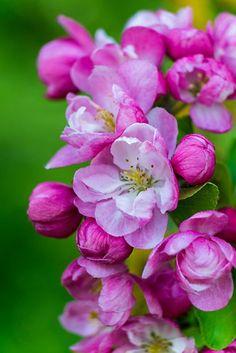 Beautiful Apple blossom ( I think it's apple. Amazing Flowers, My Flower, Beautiful Flowers, Flowers Nature, Spring Flowers, Apple Flowers, Flowers For You, Bloom, Spring Blossom