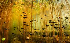A school of tadpoles swimming underneath lily pads.