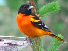 Oriole eating grape jelly, via Flickr.