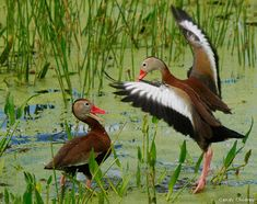 Two black-bellied whistling ducks in a marsh near Delray Beach, Florida. Photo by Candy Childrey.