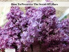 How To Preserve The Scent Of Lilacs